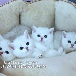 Wurf C - Nachwuchs Babykätzchen vom Schneebärchen